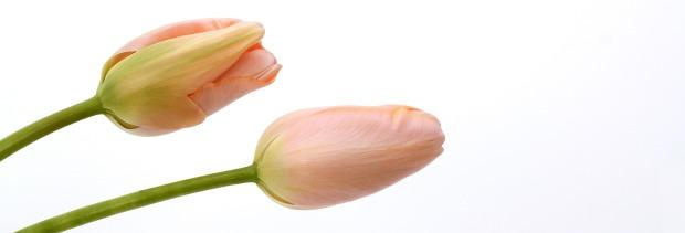 tulips-2154887_1920